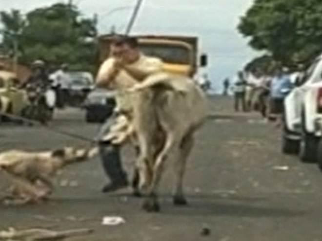 Vídeo mostra pit bull atacando bezerro em sendo morto a pauladas em Catalão, GO