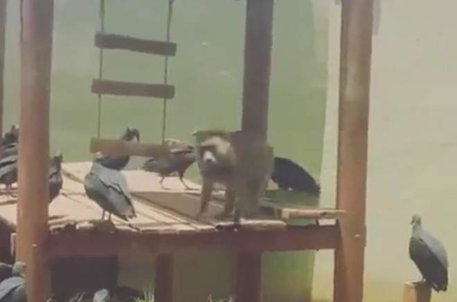 Goiânia, GO: Urubus no zoológico é problema antigo, diz supervisor