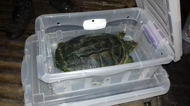 Veterinário é preso transportando tartarugas irregularmente em Uruaçu, GO