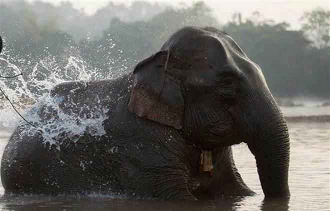 Caça ao marfim mata 80% dos elefantes de uma reserva no Gabão
