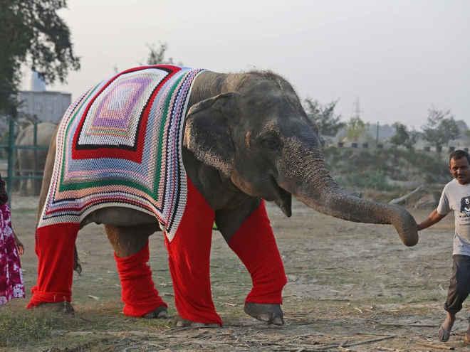 Aldeões estão tricotando suéteres gigantes para manter elefantes resgatados aquecidos