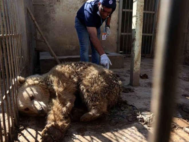 Animais agonizam em zoológico abandonado pela guerra no Iraque