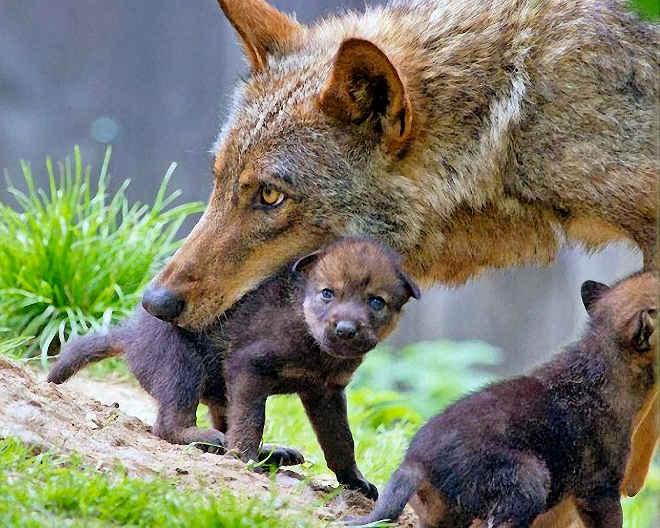 Projeto reabre caça à lobos e causa polêmica na Itália