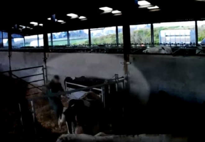 Uma câmera oculta documenta a violência animal em uma fazenda de laticínios na Inglaterra