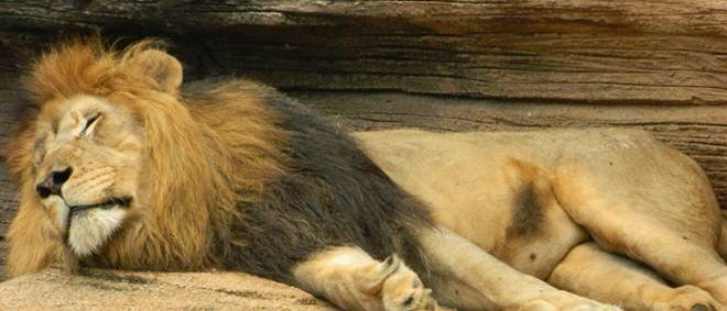 ONG corre contra o tempo para salvar Simba, o leão de Mossul