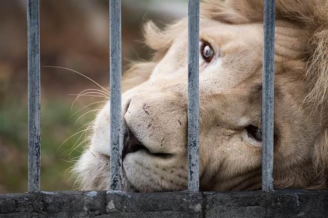 Zoo de Mossul já só tem dois animais. E estão a morrer à fome