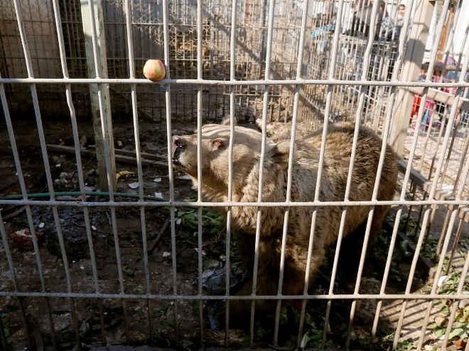 Iraque: Animais esfomeados do Zoo de Mosul comem pela primeira vez em um mês
