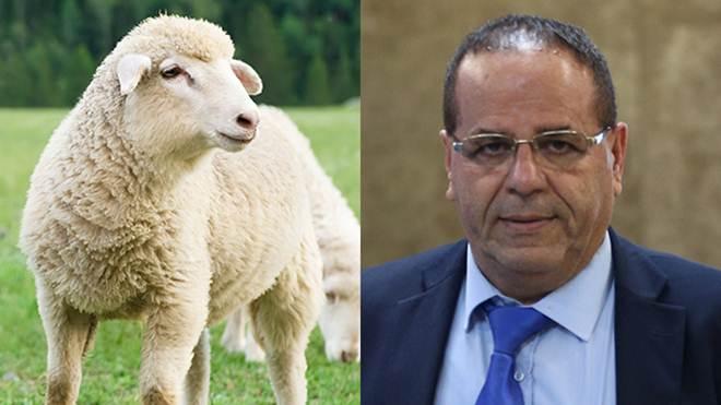 Novo ministro israelense em vias de celebrar sua nomeação com a morte de 68 ovelhas