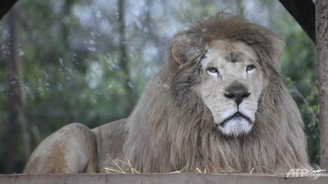 Leão ataca dois cuidadores em empresa que aluga animais no Japão
