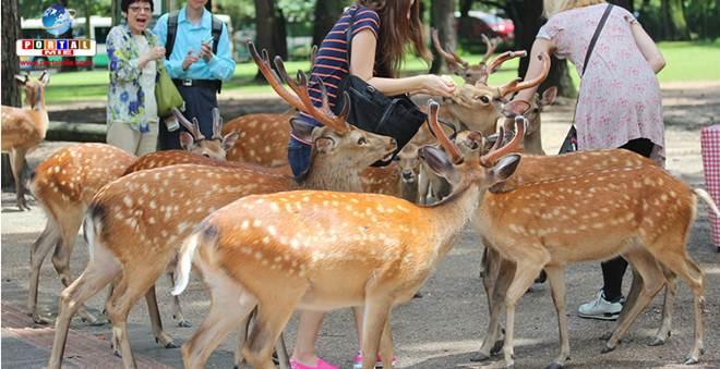 Superpopulação de veados preocupa cidades no Japão