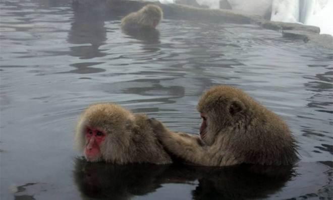 Zoológico japonês sacrifica 57 macacos para proteger espécie nativa