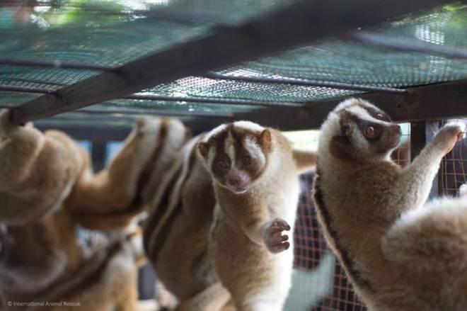 Estes 27 lóris lentos estavam fadados à vida de animal de estimação – agora estão na estrada de volta à liberdade