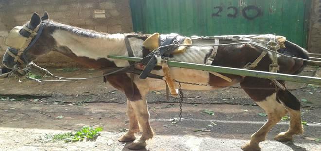 Homem é preso por maus-tratos a cavalo em Araguari, MG
