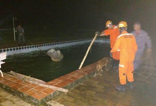 Bombeiros resgatam boi que caiu em piscina em Juiz de Fora, MG