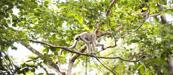 Avanço da febre amarela na floresta coloca em risco espécies ameaçadas de extinção