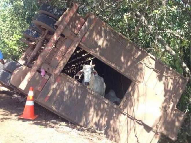 Caminhão que transportava bois tomba em rodovia e animais ficam soltos na pista em MS