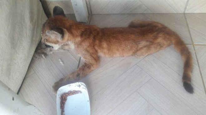 Filhote de onça resgatada em Paranatinga (MT) está fora de perigo