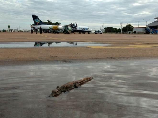 Filhote de jacaré é encontrado em pista de aeroporto em cidade de MT