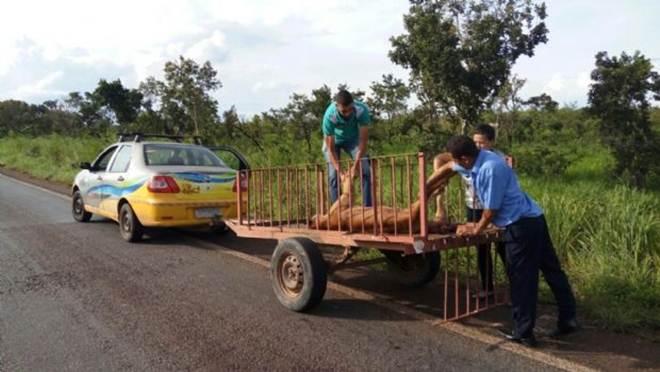 Caminhão atropela e mata onça parda em rodovia federal que corta Mato Grosso