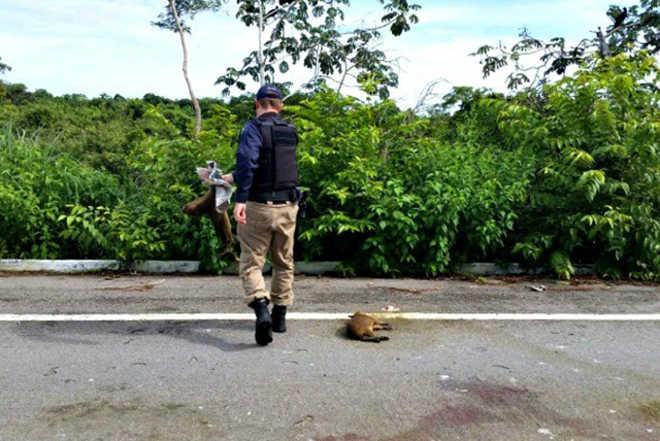 Filhotes de capivara são encontrados mortos atropelados na BR-070 em MT