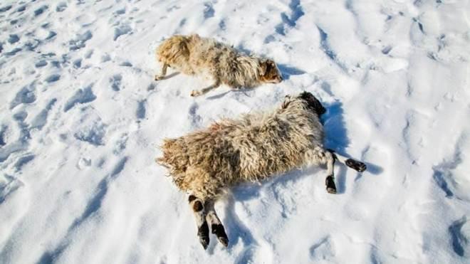 Frio extremo dizima gado dos nômades na Mongólia