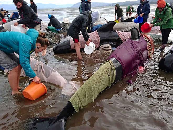 Tragédia: mais de 400 baleias encalhadas na Nova Zelândia; cerca de 300 morreram