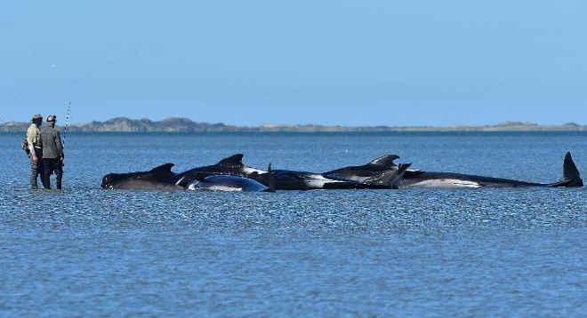 Centenas de baleias encalhadas conseguem voltar ao mar na Nova Zelândia