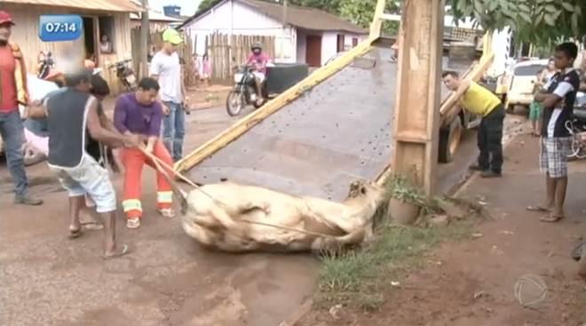Vaca se liberta de frigorífico e é resgatada por ONG