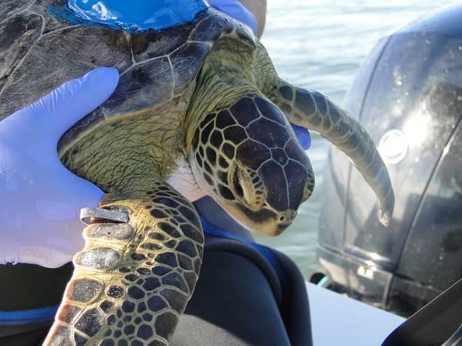 Tartarugas-marinhas verdes são monitoradas no litoral do Paraná