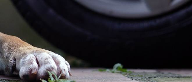 PSP identifica condutor que atropelou mortalmente um cão e fugiu em Coimbra, Portugal