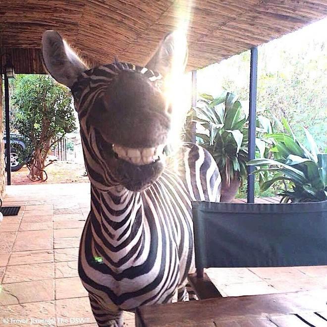 Zebra que perdeu sua mãe está muito feliz com sua nova família