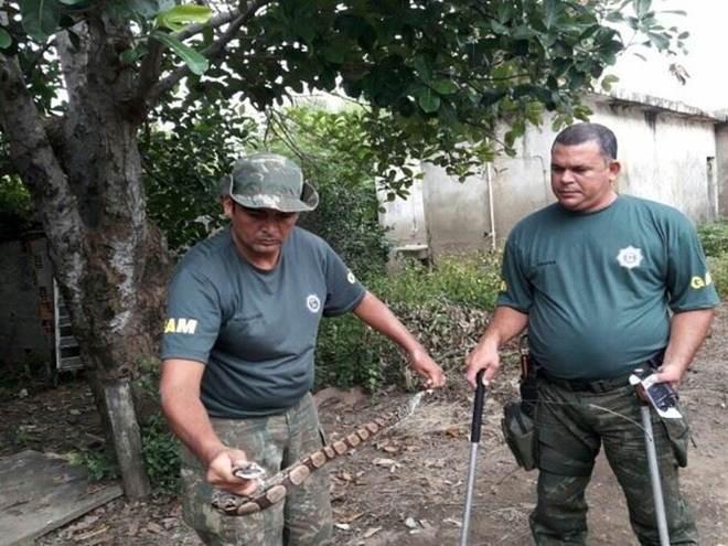 Duas jiboias são encontradas em residências em Campos, no RJ
