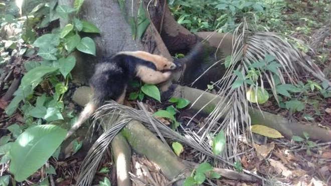 Patrulha Ambiental resgata tamanduá-mirim em residência na zona oeste do Rio