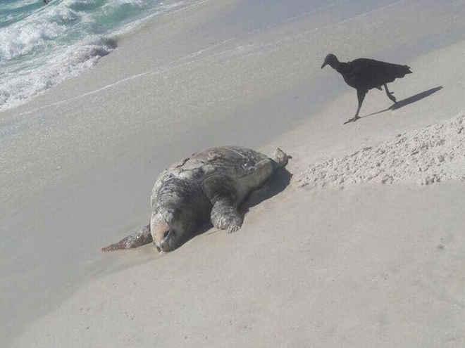 Tartaruga 'caretta-caretta' é achada morta em praia de Cabo Frio, no RJ
