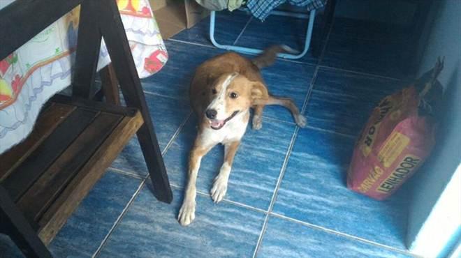 Gringa: outro caso de maus-tratos aos animais registrado em Santana do Livramento, RS