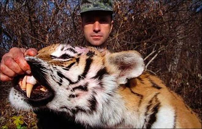 Caçador russo rico mata seis tigres siberianos
