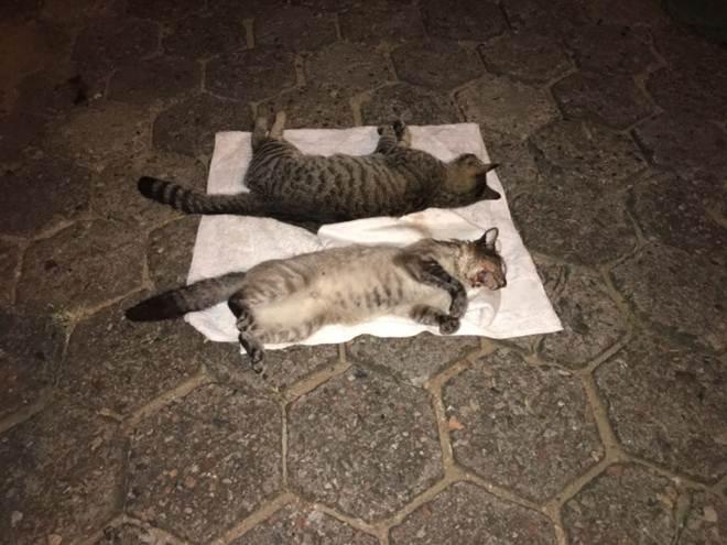 Gatos são envenenados no Centro, em Jaraguá do Sul, SC