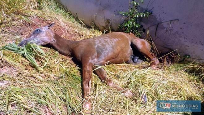 Bombeiros e PM resgatam cavalo agonizando em Andradina, SP