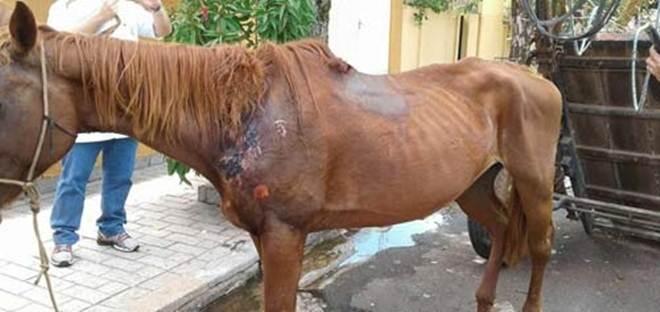 Guarda Municipal recolhe égua vítima de maus-tratos em Araçatuba, SP