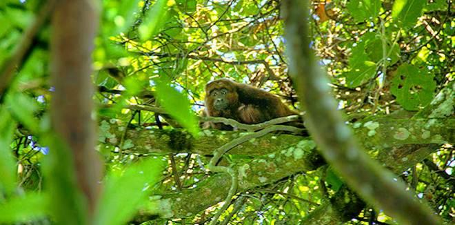 Guardião da vida silvestre, Cetas de Barueri (SP) devolve preguiça e bugio à natureza