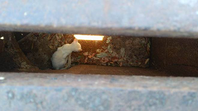 Voluntários resgatam gato preso em bueiro; Animal é colocado para adoção em Ilha Solteira, SP