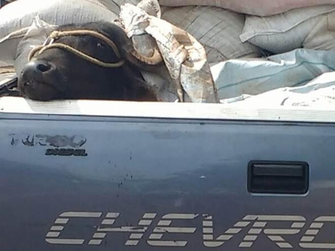 Morador flagra búfalo sendo transportado em caminhonete em Itapetininga, SP