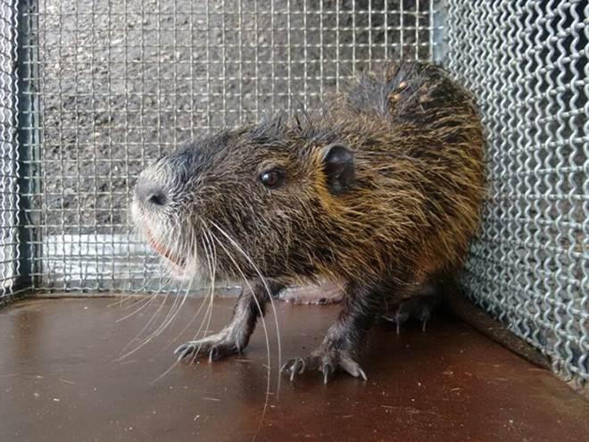 Ratão-do-banhado é capturado em praça de Junqueirópolis, SP
