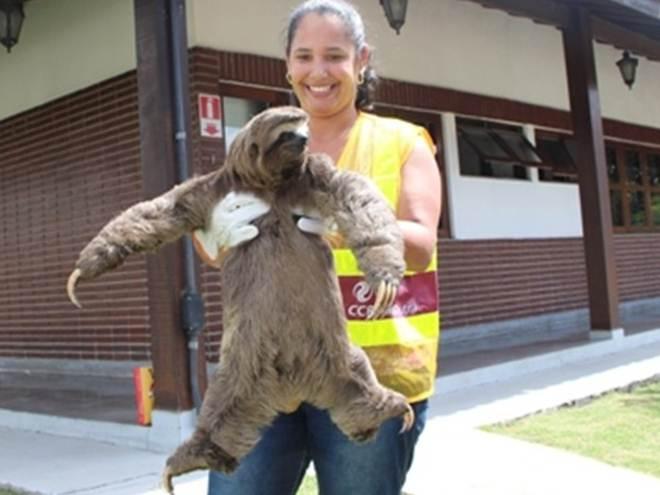 Bicho-preguiça é resgatado na Dutra, em Santa Isabel, SP