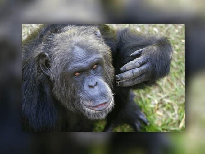 Chimpanzé de santuário é localizado horas após alerta de fuga