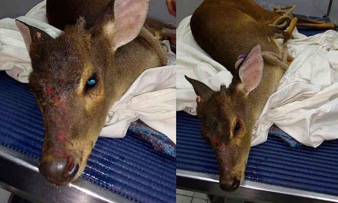 Pelotão Ambiental da GCM, resgata cervo em propriedade rural de Limeira, SP