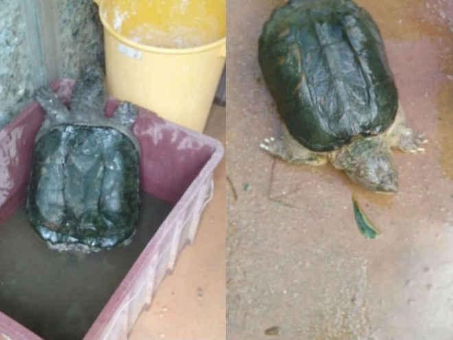 Tartarugas achadas 'espremidas' em caixas fazem tratamento em Jundiaí, SP