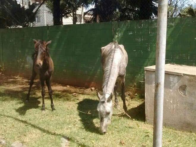 Cavalos e porcos são flagrados dentro de policlínica no litoral de SP