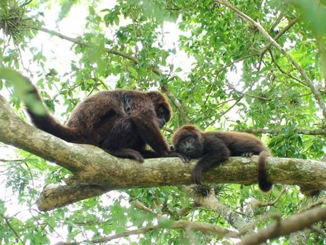 São Paulo proíbe transferência de macacos para santuário por temor de febre amarela