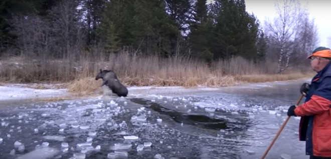 Pessoas corajosas se aventuram para salvar um alce preso em um lago congelado